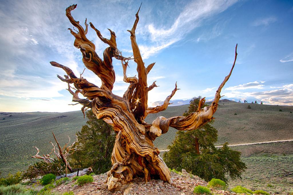 Самое старое дерево Methuselah