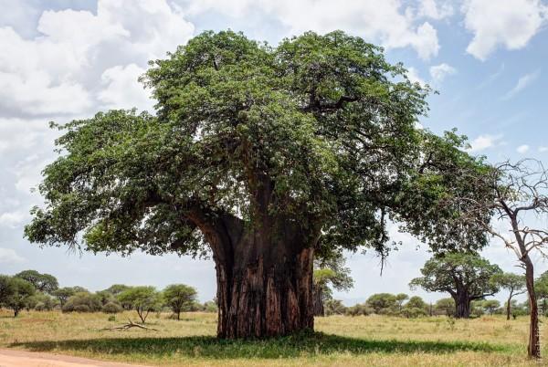Баобаб, или Адансония пальчатая Baobab