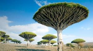 Баобабы - удивительные растения
