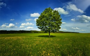 Отдельно растущее дерево