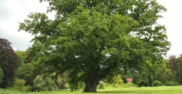 Раскидистый дуб растет отдельно от других деревьев