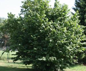 Орешник или лещина обыкновенная - распространенное в южных широтах нашей страны дерево.