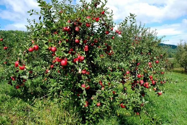 Древесина у яблони плотная, крепкая, легко режется и хорошо полируется