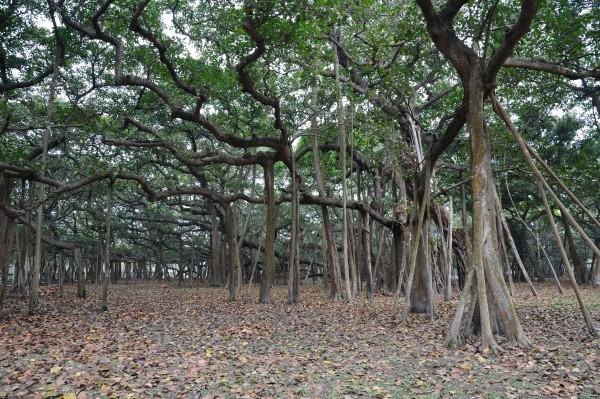 Фикус Бенгальский  – это дерево из семейства Тутовых