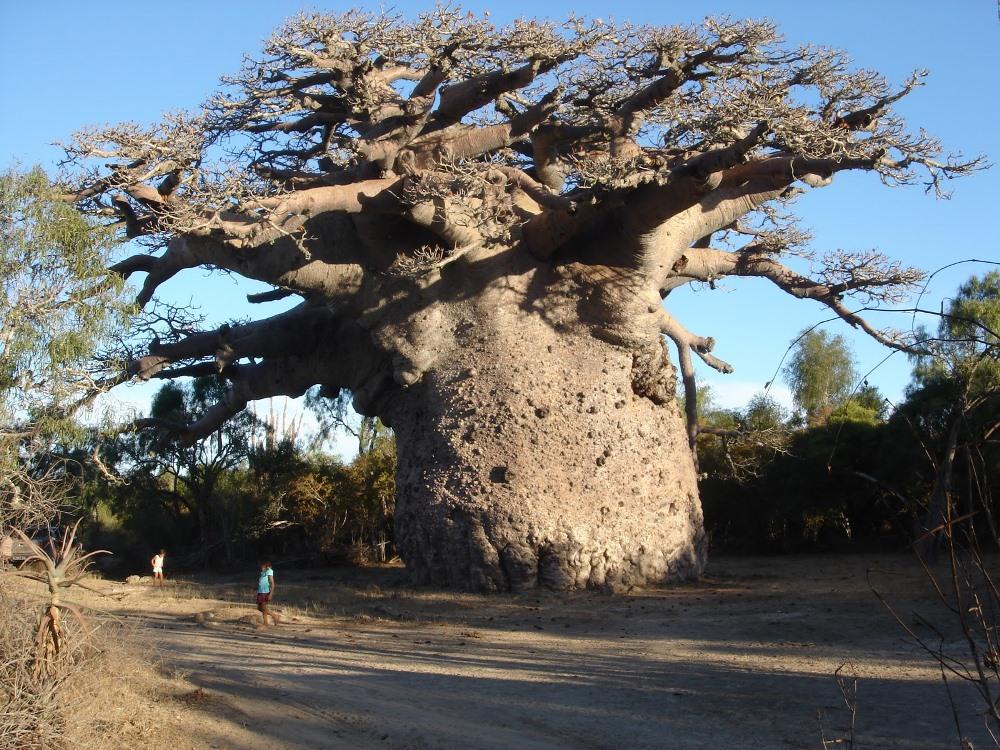 Удивительные деревья долгожители