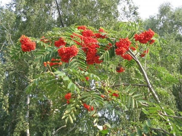 Рябина обыкновенная плодоносит ярко красными ягодами
